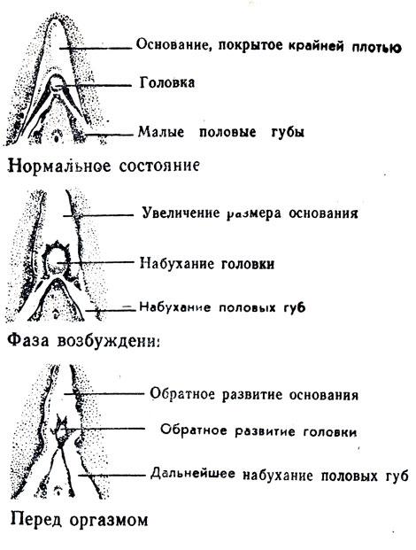 Клиторический оргазм физиология